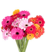27 multicoloured gerberas: Gerbera