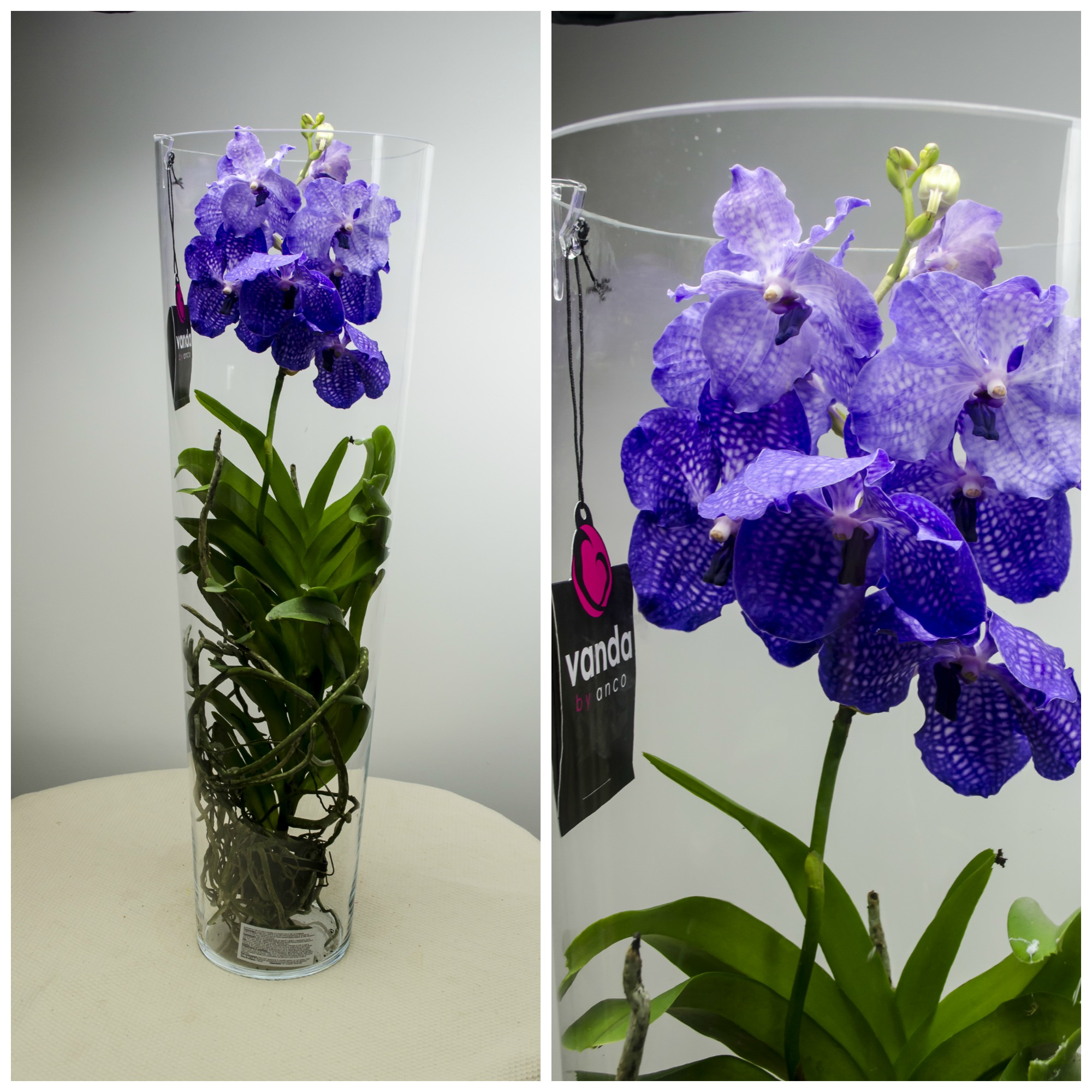 Melbourne flower: Orhidee Vanda in vas de sticla