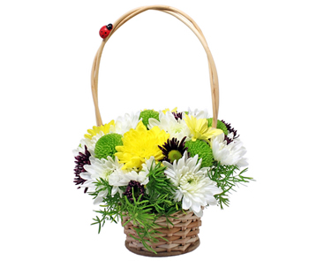 Chrysantemum mini basket